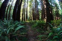 Redwood drzewa w Północnym Kalifornia Zdjęcie Stock