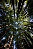 Redwood Drzewny baldachim w Północnym Kalifornia Obrazy Royalty Free