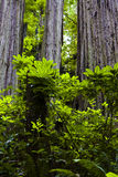 Redwood foliage Royalty Free Stock Photos