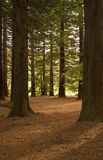 Redwood Forest 01. Redwoods in Te Mata Peak Park, Hawke's Bay, New Zealand Stock Image
