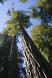 Redwood forest. Redwood trees , view from botom to top Royalty Free Stock Photos