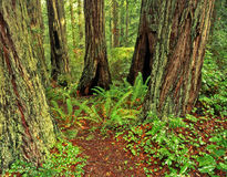 Redwood Forest 3 Royalty Free Stock Photography