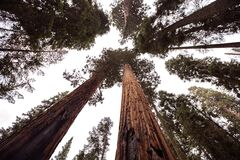 Redwood forest Stock Image