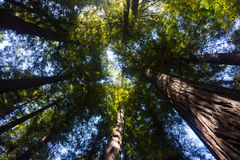 Free Redwood Forest Stock Photos - 97987373