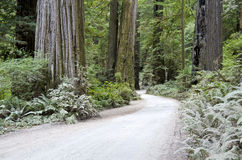Redwood Forest of California Royalty Free Stock Image