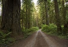 Redwood Forest Country Road Stock Photography