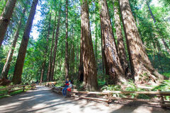 Redwood forest. Family enjoying redwood forest in california stock photography