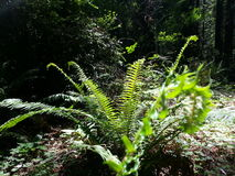 Redwood Forest Fern Stock Photography