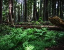 Redwood Forest. And ferns in northern California Stock Photo