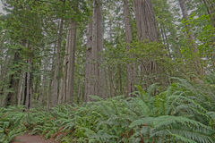 Redwood forest Royalty Free Stock Photography