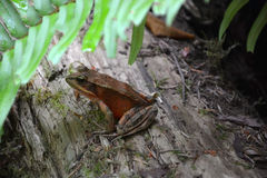 Redwood forest frog Stock Photos