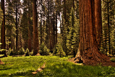Redwood Forest 0118. A green meadow in a redwood forest Royalty Free Stock Image