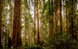 Redwood Forest. A  redwood forest in Northern California Stock Images