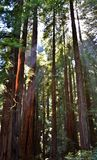 Redwood Forest royalty free stock photos
