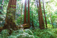 Redwood forest royalty free stock image