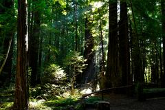 Redwood Forest in Northern California royalty free stock images