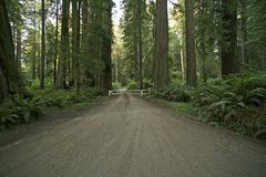 Redwood Forest Road Royalty Free Stock Images