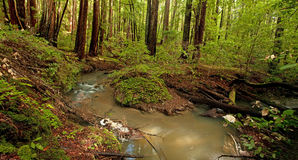 Redwood Forest Stream. Lush rain forest and stream in Portola Redwoods, California Stock Photography