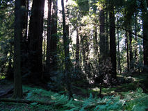 Redwood forest in sunlight Stock Photo