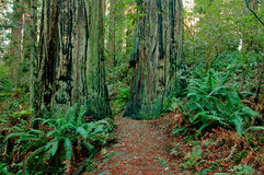 Redwood Forest Trail Stock Photography