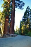 Redwood forest Royalty Free Stock Photo