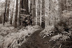 Redwood Forest Trail in Infrared Royalty Free Stock Photography