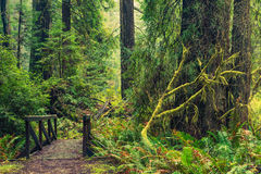 Redwood Forest Trail Stock Photo