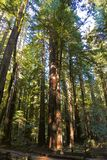 Trees Redwood forest Royalty Free Stock Images