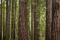 Redwood forest. Redwood trees in a California national park Royalty Free Stock Photos