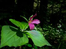 Redwood Forest trillium Bloom royalty free stock photos