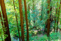 Redwood forest with wood lined footpath and stream Royalty Free Stock Photo