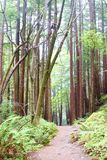 Redwood Forrest Hiking Path. The hiking path leads into a redwood forrest on a wet foggy morning royalty free stock photography