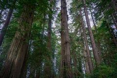 Redwood Giants Стоковое Изображение RF