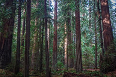 Redwood Giants Стоковое фото RF