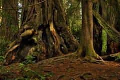 Redwood gigante em uma floresta. imagens de stock royalty free