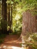 redwood gigantyczny drzewo Obrazy Royalty Free