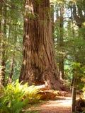 redwood gigantyczny drzewo Fotografia Royalty Free