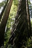 Redwood Grove Stock Image