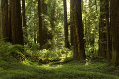 Redwood Grove along the Avenue Of The Giants, California Royalty Free Stock Photos