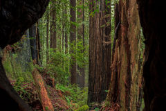 Redwood grove through a burned tree Royalty Free Stock Photo