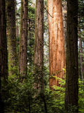 Redwood Grovel in Sierras. Sequoias on the trail in the dense green Nelder Grove, located in California Royalty Free Stock Photo