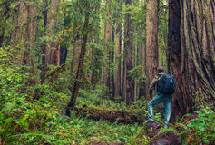 Redwood Hiking Royalty Free Stock Photography