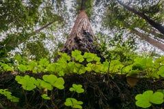 Redwood kobylaka dorośnięcie przy bazą wysocy redwood drzewa, Duży Basenowy stanu park, Kalifornia Fotografia Stock