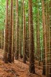 Redwood las zdjęcia stock