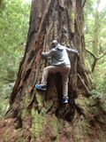 Redwood las usa Obraz Stock