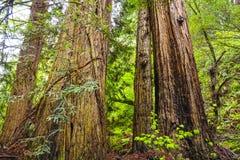 Redwood las z gigantycznymi czerwonymi cedrowymi drzewami Fotografia Royalty Free