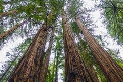 Redwood las z gigantycznymi czerwonymi cedrowymi drzewami Zdjęcia Royalty Free