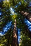 Redwood Lasowi drzewa obrazy stock