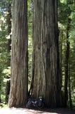 Redwood lasu jechać na rowerze Obraz Stock