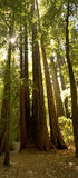 redwood lush пущи california Стоковая Фотография RF